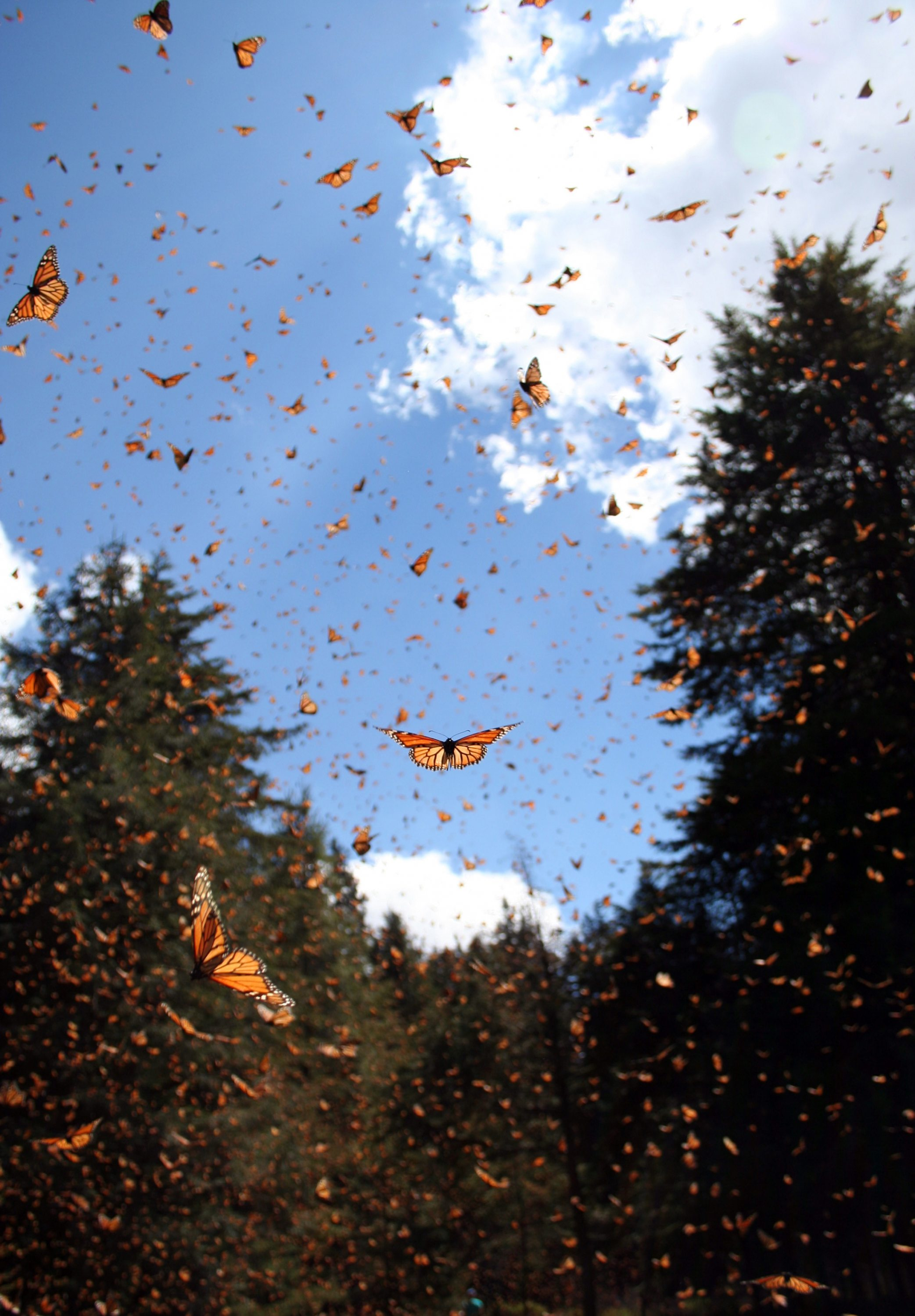 genetic secrets of the monarch butterfly revealed uchicago news