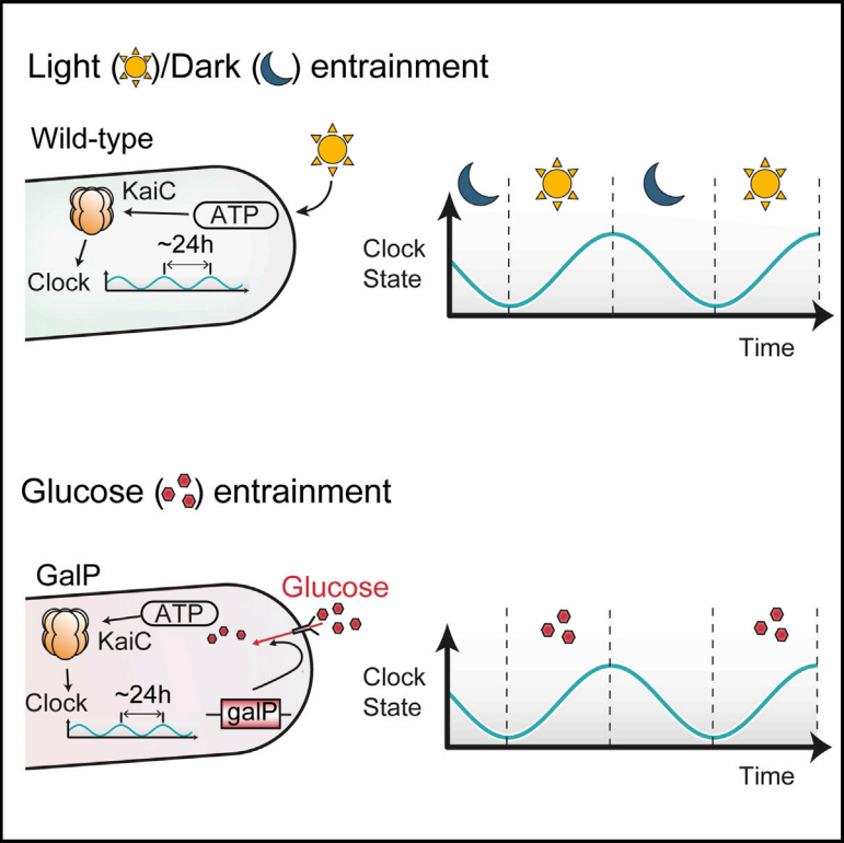 bacterial circadian clocks set by metabolism  not light