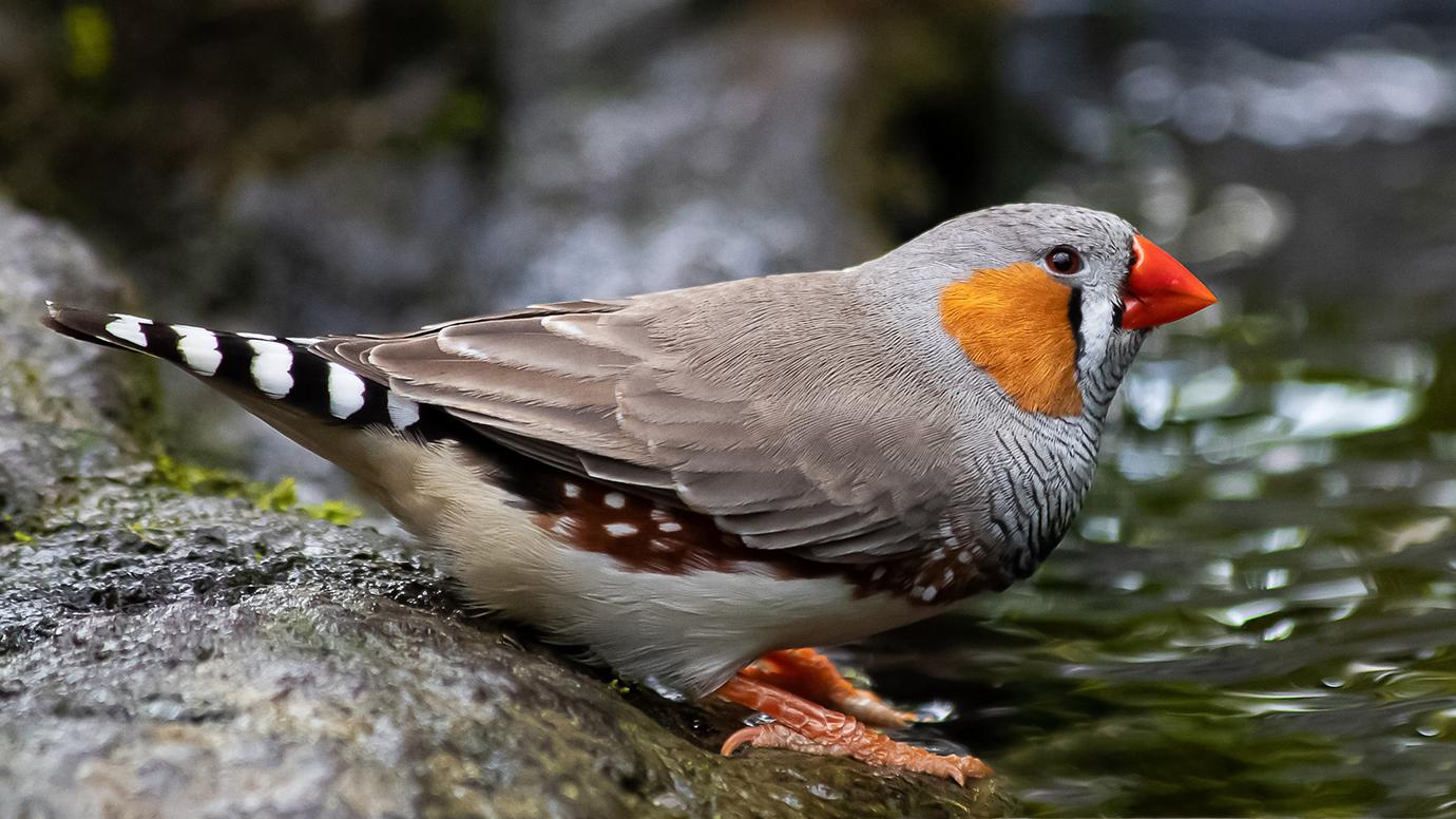 How Birds Love Songs Can Help Us Understand The Human Brain University Of Chicago News