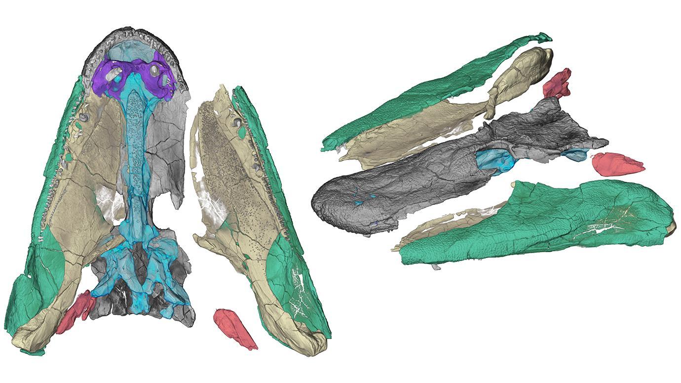 Tiktaalik skull components