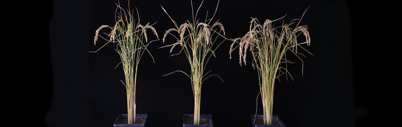 Three rice plants of different sizes on a black background