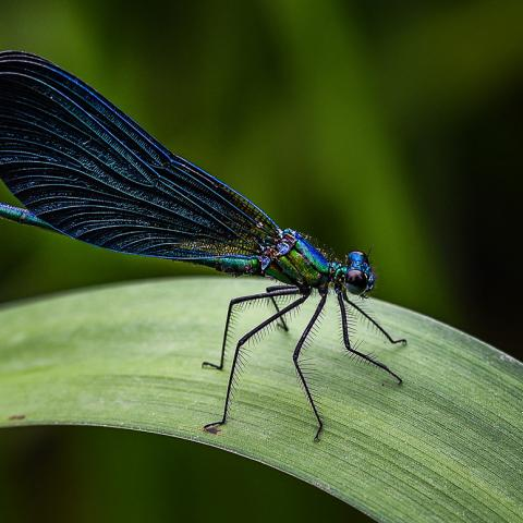 Blue insect with large wings