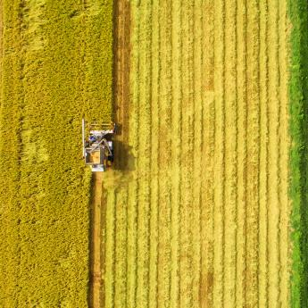 Aerial of combine harvester machine with rice farm