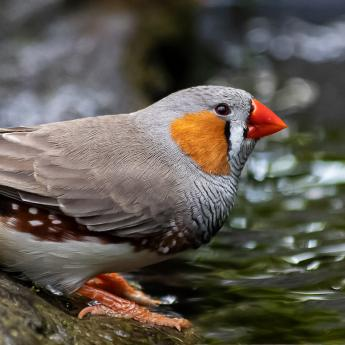 A male zebra finch
